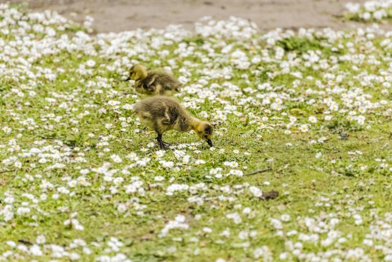 Deux oisons de bébé forageant pour la nourriture au sol images stock