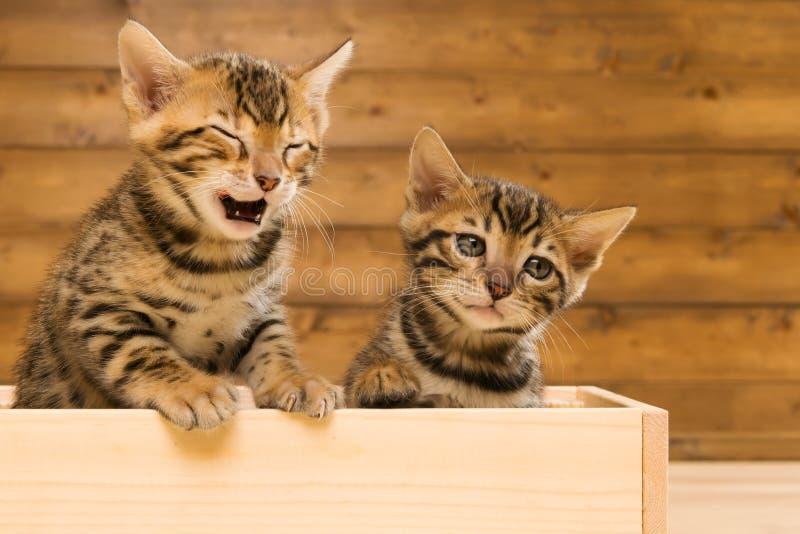 Deux ont barré le chaton de la race du Bengale jouant dans une boîte en bois photo libre de droits