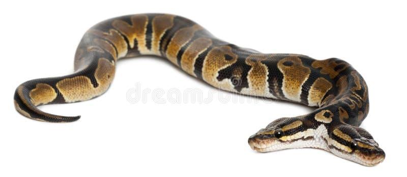 Deux ont dirigé le python royal ou le python de bille image stock