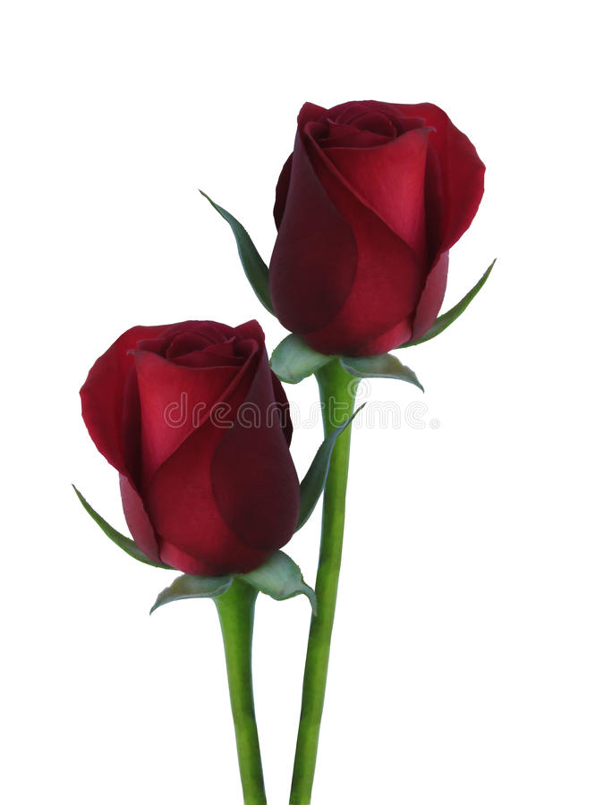 Deux ont isolé les roses rouges photos libres de droits