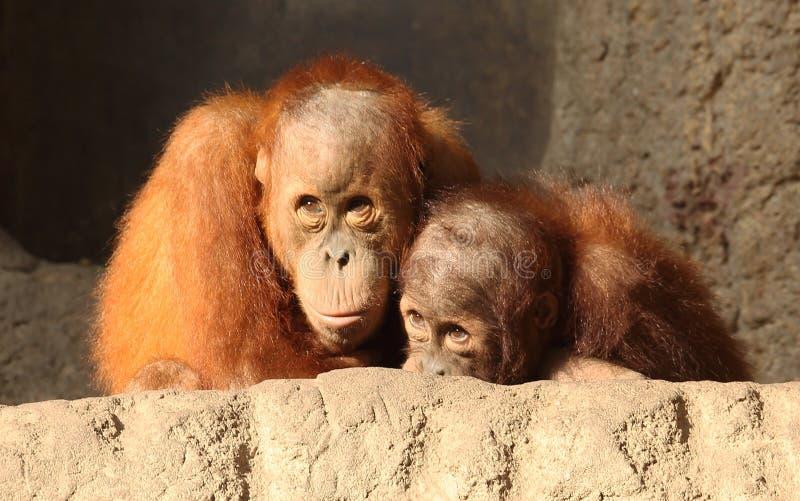 Deux orang-outan Utans photos libres de droits