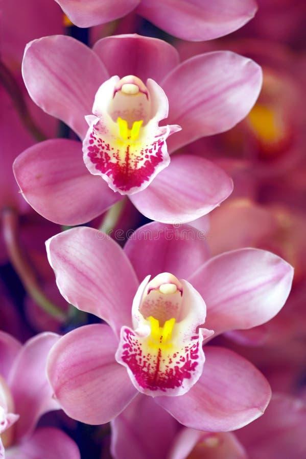 Deux orchidées photo stock