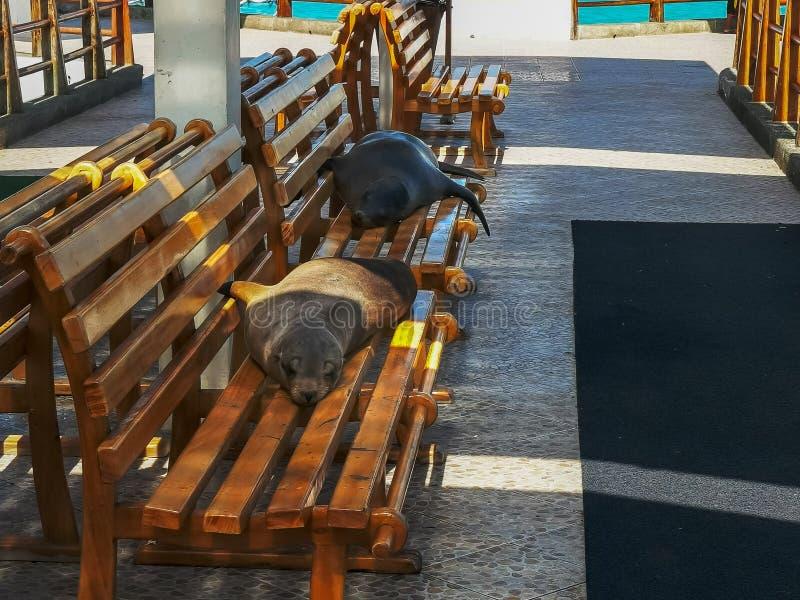 Deux otaries se reposant sur un banc à la marina dans le puerto Ayora photos stock