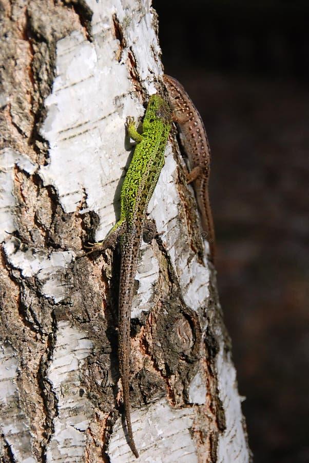 Deux ou trois lézards verts image libre de droits