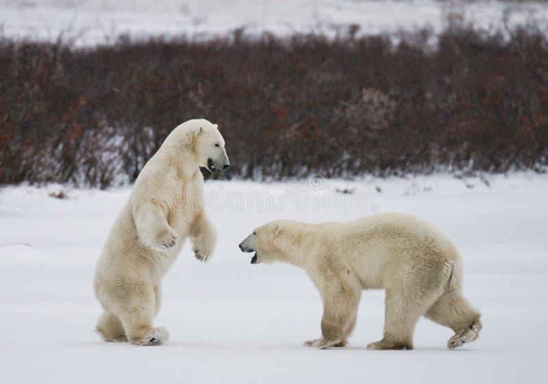 Deux ours blancs jouant les uns avec les autres dans la toundra canada photos libres de droits