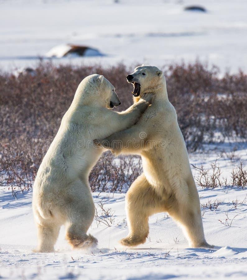 Deux ours blancs jouant les uns avec les autres dans la toundra canada images stock