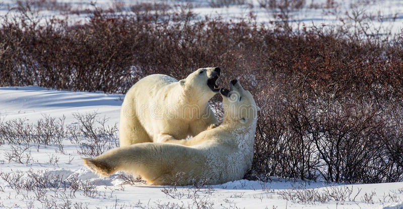 Deux ours blancs jouant les uns avec les autres dans la toundra canada photo stock