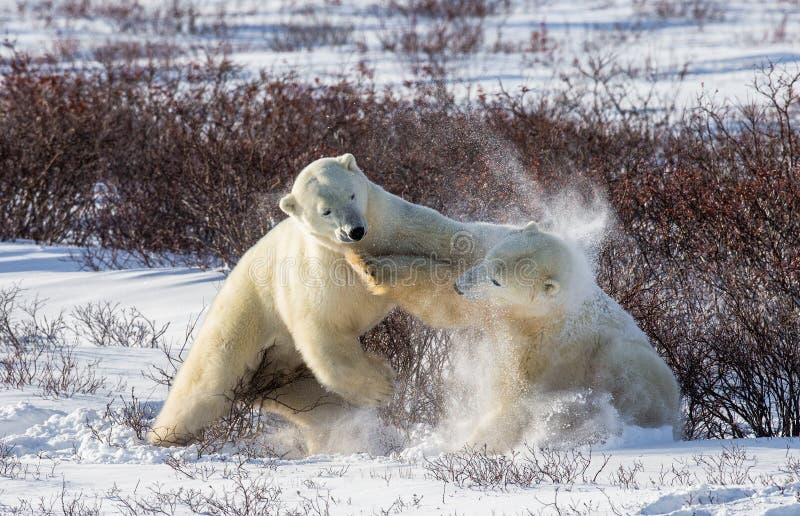 Deux ours blancs jouant les uns avec les autres dans la toundra canada photographie stock libre de droits
