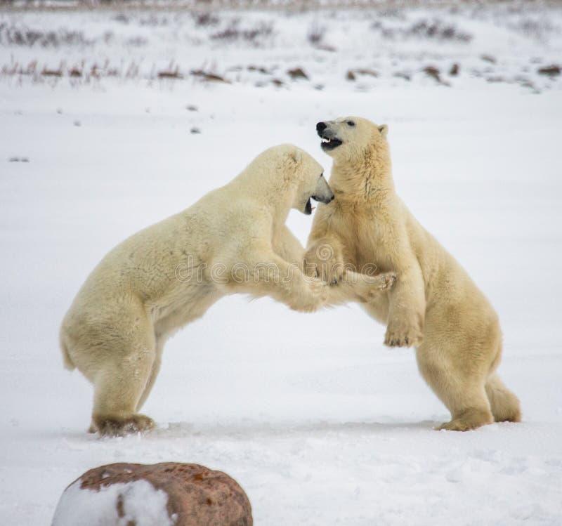 Deux ours blancs jouant les uns avec les autres dans la toundra canada image libre de droits