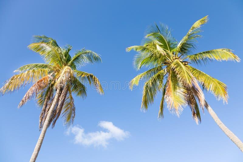 Deux palmiers de noix de coco photo stock