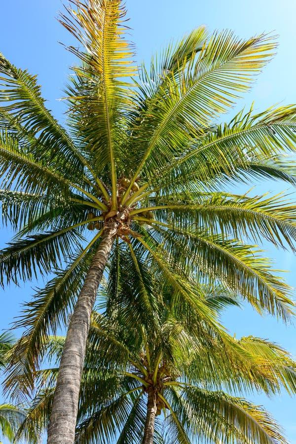 Deux palmiers de noix de coco avec le ciel bleu photographie stock libre de droits