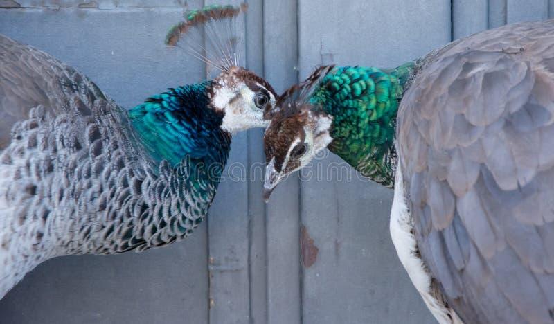Deux paons s'indiquant un secret dans leurs oreilles photographie stock libre de droits