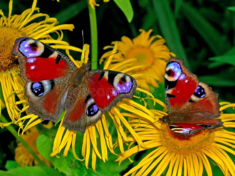Deux papillons de paon photo stock