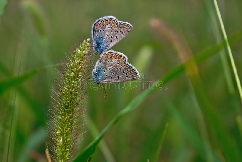 Download Deux Papillons Sur Une Herbe De Poil Photo stock - Image du deux, été: 77153314