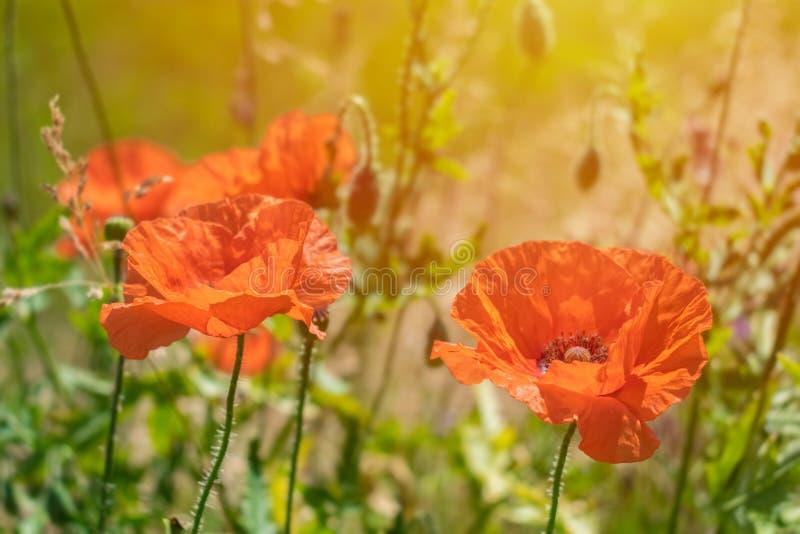 Deux pavots rouges lumineux au soleil sur le fond de l'herbe verte a images stock