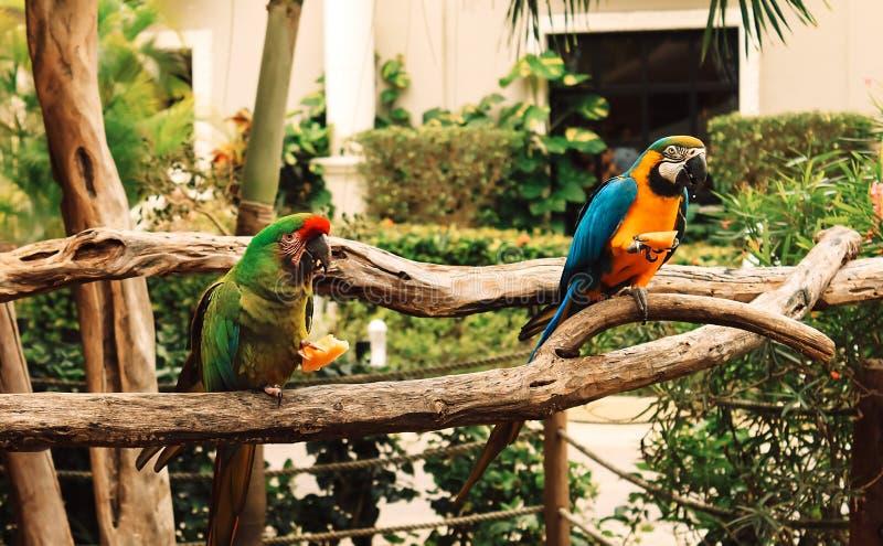Deux perroquets colorés étés perché sur une branche mangeant du fruit macaw image libre de droits