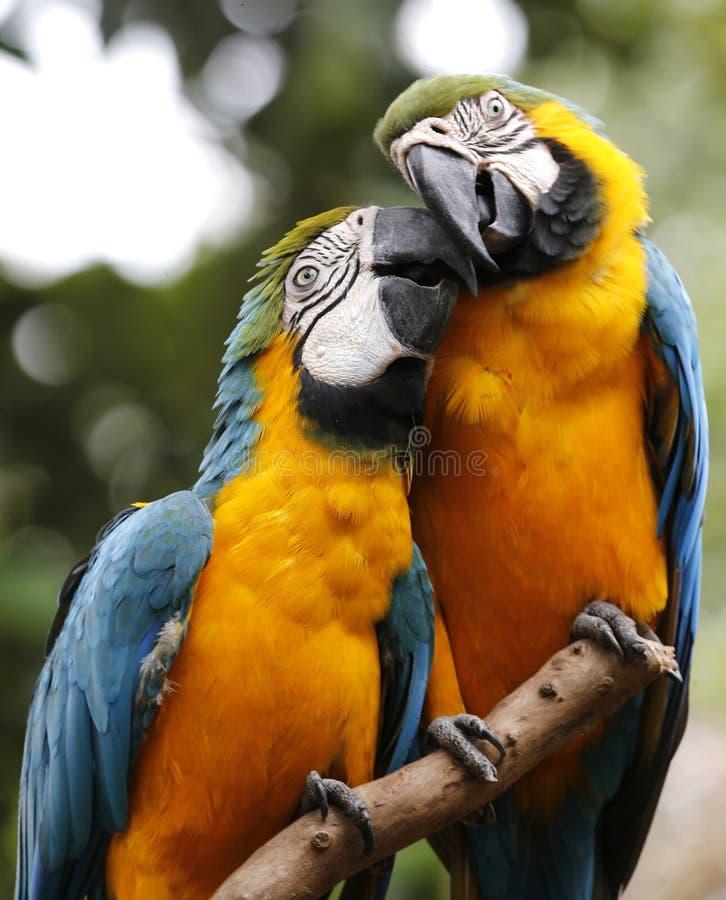 Deux perroquets dans le zoo du Malacca photo stock