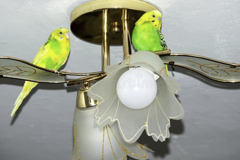 Deux perroquets onduleux se reposent sur le lustre photos stock