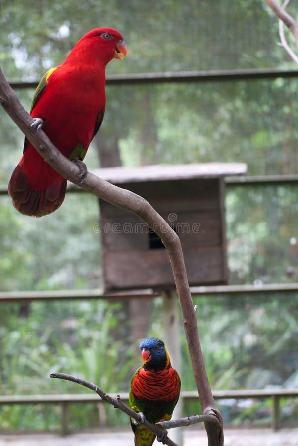 Deux perroquets se reposant dans la cage images stock
