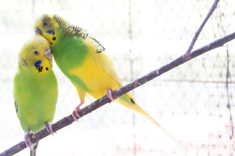 Deux perruches se tenant sur une branche images libres de droits
