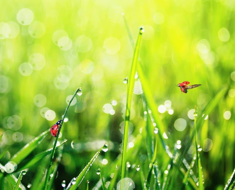 Deux petites coccinelles rouges volent et rampent sur l'herbe luxuriante verte Co photos stock