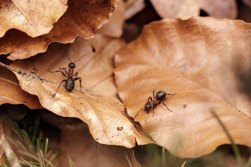 Deux petites fourmis sur les feuilles brunes photos stock
