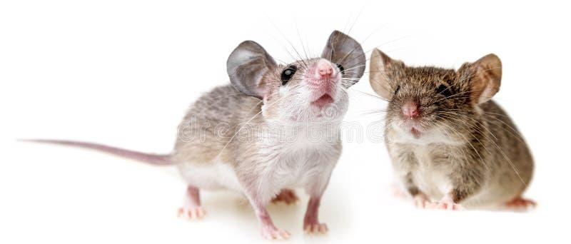 Deux petites souris image libre de droits