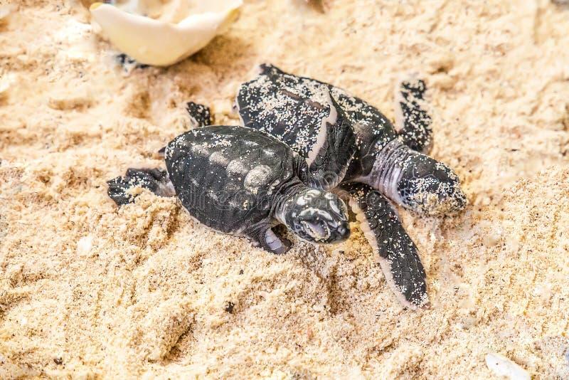 Deux petites tortues sur le sable avec la coquille d'oeuf photo stock
