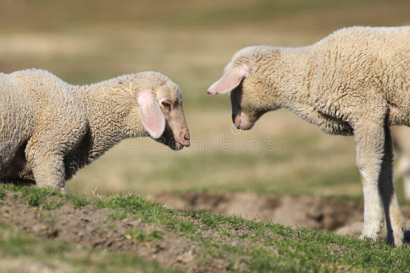 Deux petits agneaux jouent au p?turage photos stock