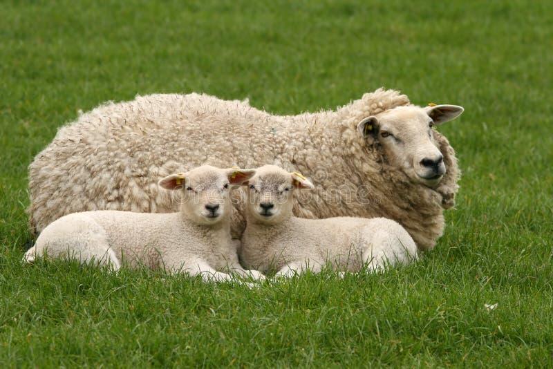Deux petits agneaux vous regardant photo stock