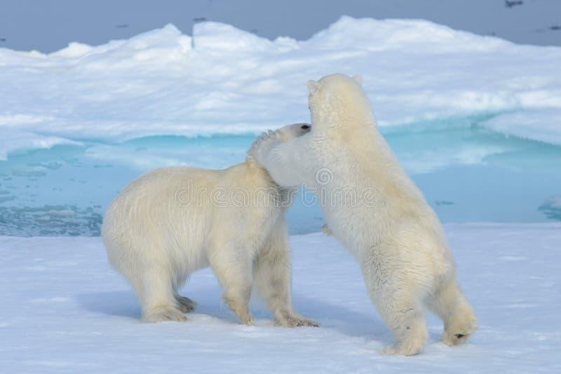 Deux petits animaux d'ours blanc jouant ensemble sur la glace photos libres de droits