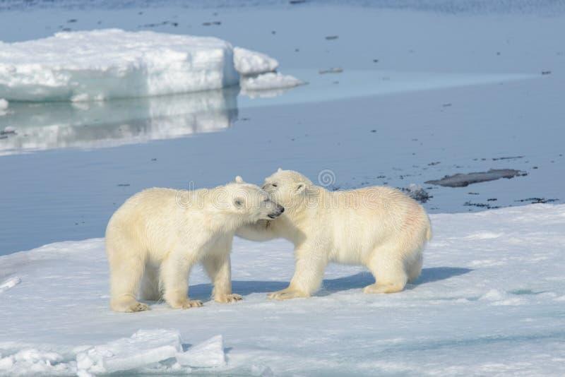 Deux petits animaux d'ours blanc jouant ensemble sur la glace images libres de droits