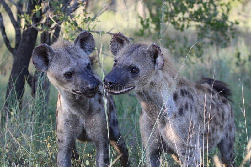 Deux petits animaux repérés d'hyène photos stock