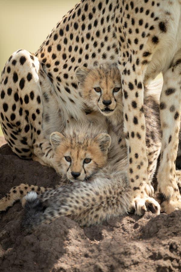 Deux petits animaux se trouvent sur le monticule sous le guépard images stock