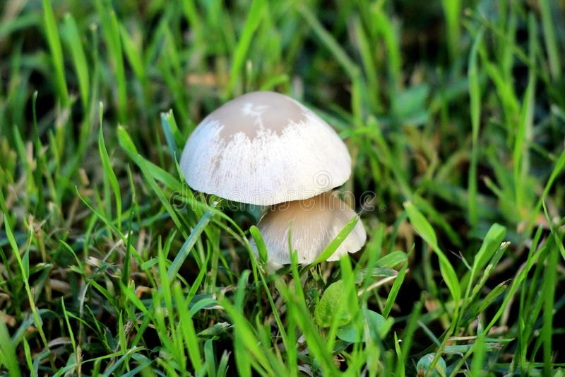 Deux petits champignons gris-clair s'élevant dans l'arrière-cour de maison de famille après la forte pluie entourée avec l'herbe  photos libres de droits