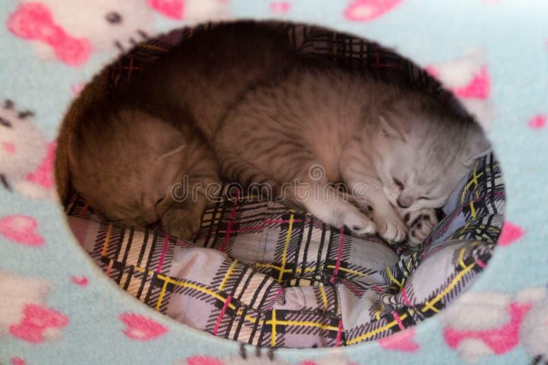 Deux petits chatons noirs et blancs dormant ensemble dans la maison de chat sur l'oreiller de plaid photographie stock