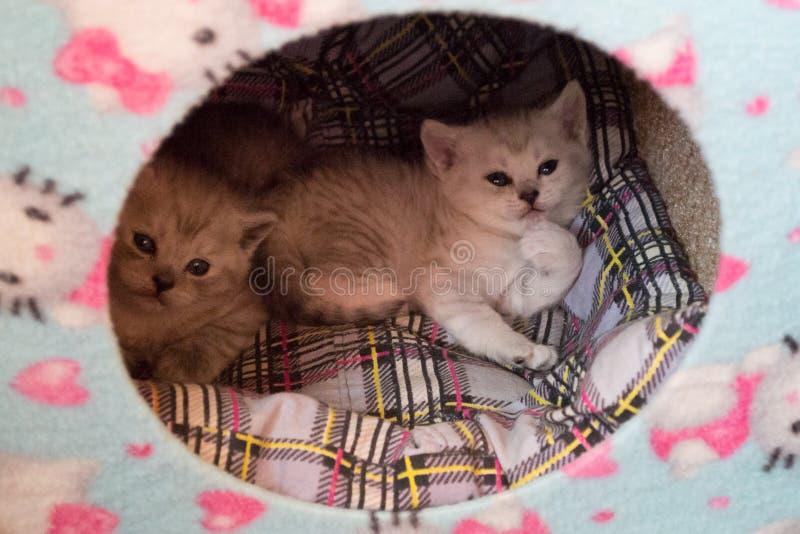 Deux petits chatons noirs et blancs s'étendant ensemble dans la maison de chat sur l'oreiller de plaid images stock