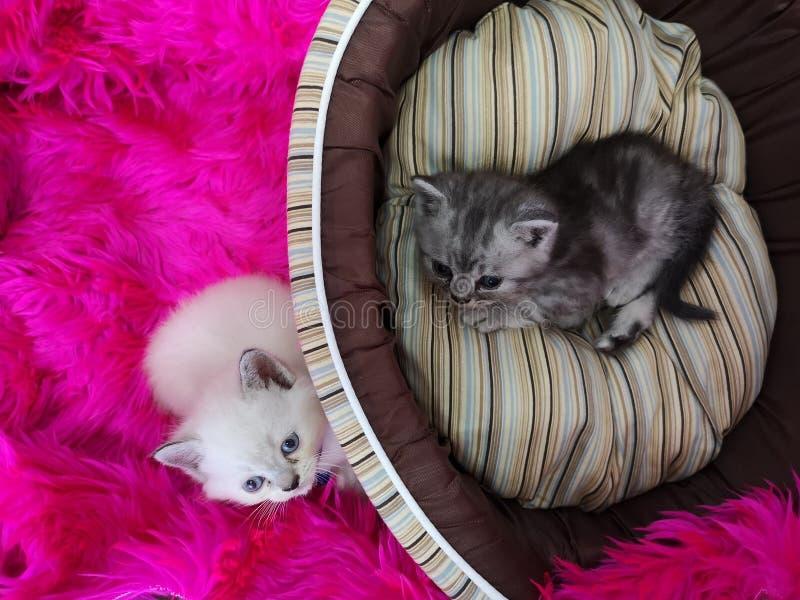 Deux petits chatons se trouvant sur le lit pelucheux rose de couverture et d'animal familier et le x28 ; panier photo stock