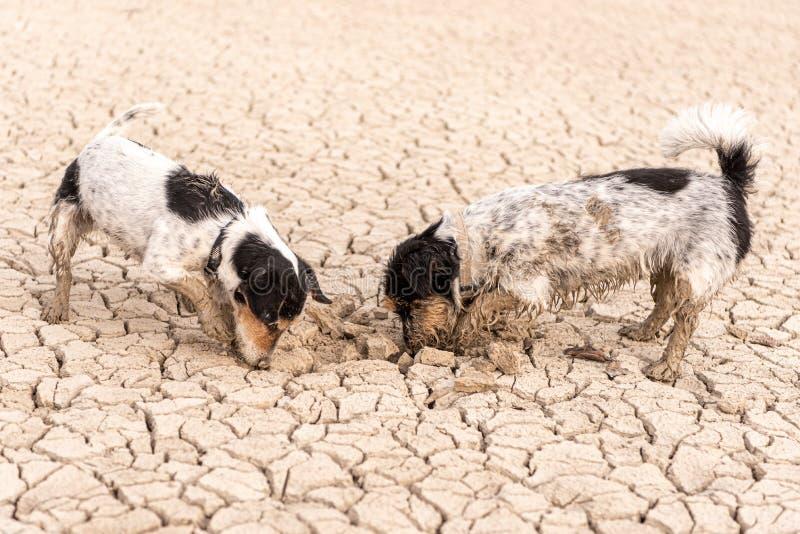 Deux petits chiens de Jack Russell Terrier creusent sur la terre criquée arénacée photo stock
