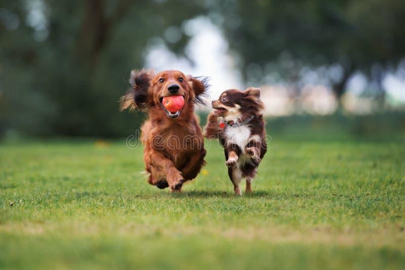 Deux petits chiens fonctionnant dehors photographie stock