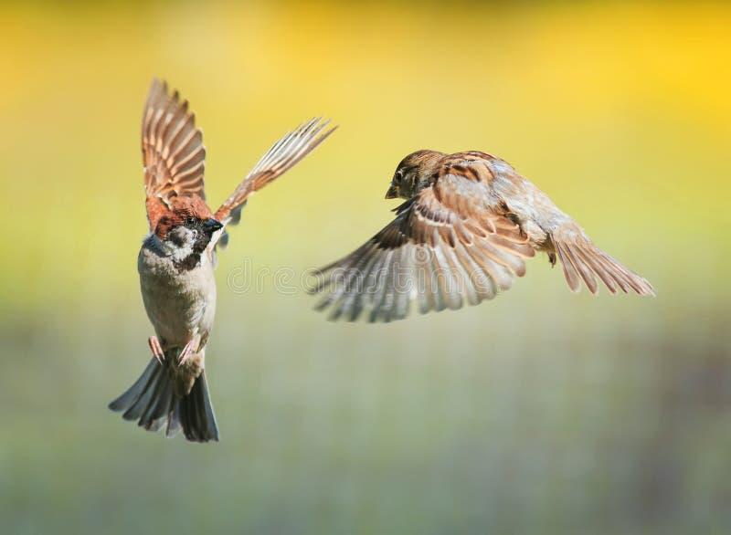 Deux petits moineaux drôles d'oiseaux volent dans un jardin ensoleillé de ressort agitant leurs ailes et becs pendant le conflit image stock