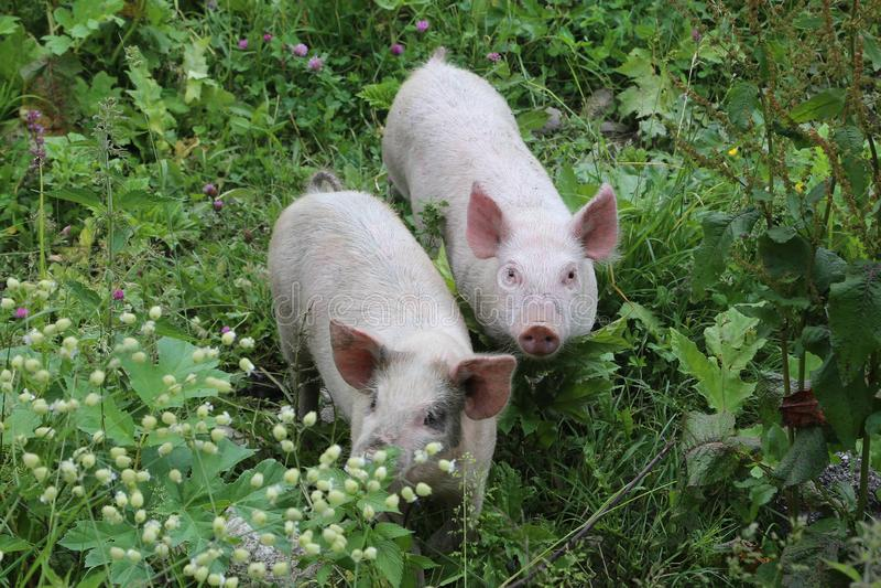 Deux petits porcs photographie stock libre de droits