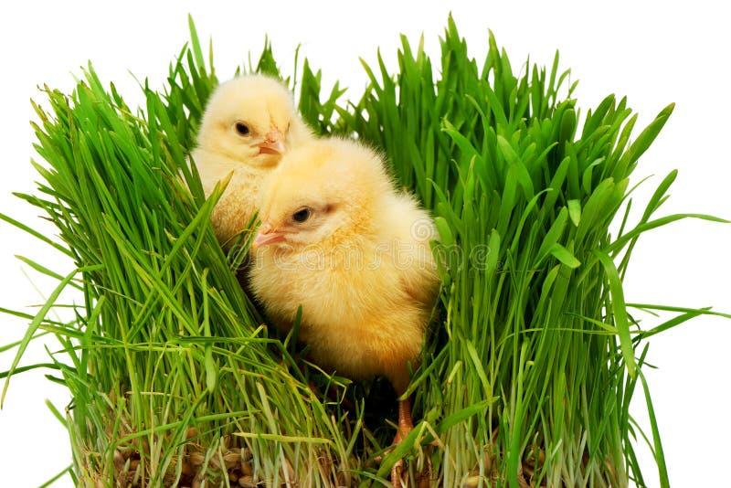Deux petits poulets jaunes dans l'herbe verte photo stock