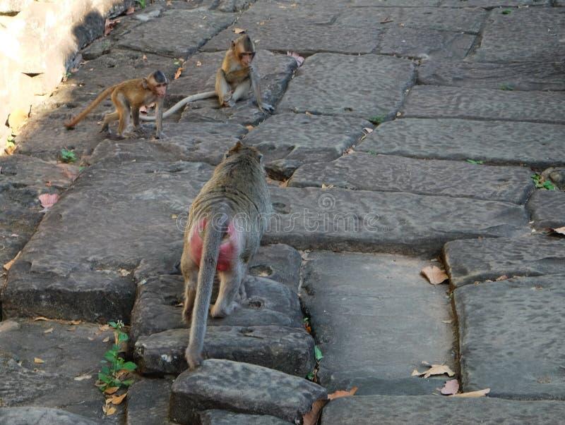 Deux petits singes jouant sur une route en pierre antique Un singe avec les fesses rouges va à ses petits animaux photographie stock libre de droits