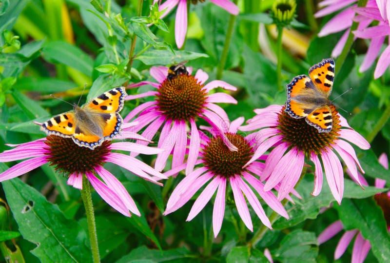 Deux petits urticae d'Aglais de papillons d'écaille et sur l'Echinacea de Coneflowers, Rudbeckia image libre de droits