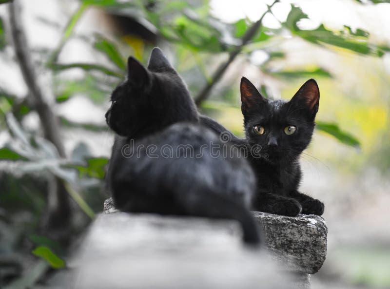 Deux peu de chats domestiques noirs photos stock