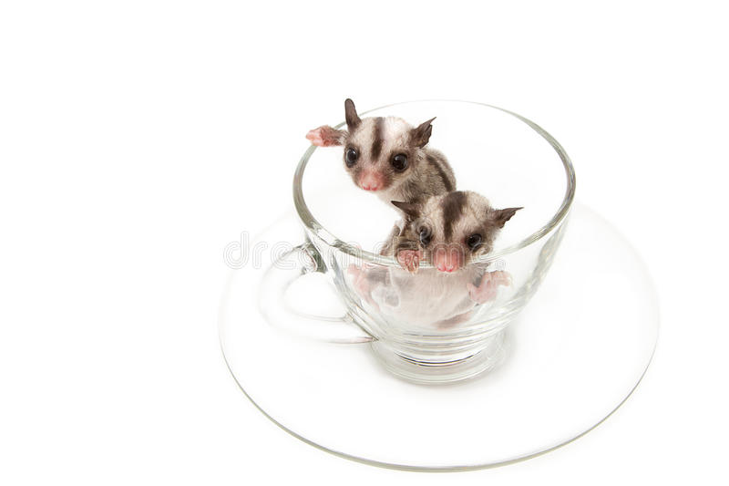 Deux peu de joey dans la tasse de thé images libres de droits
