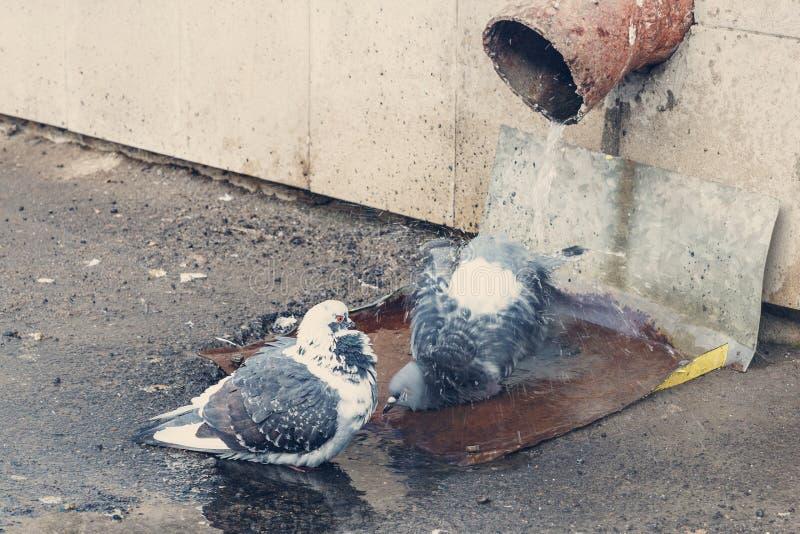 Deux pigeons photo stock