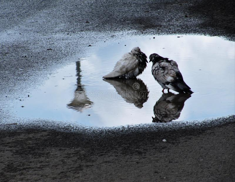 Deux pigeons images libres de droits