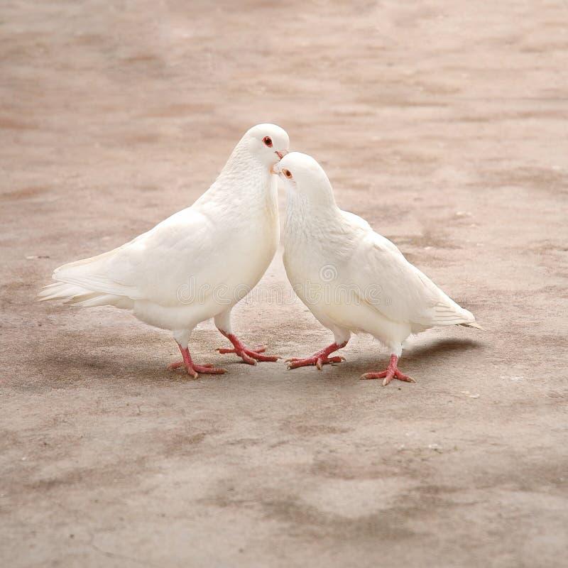 Deux pigeons blancs aimants image libre de droits